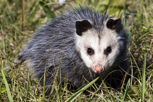 interesting_facts_about_opossum8-ap