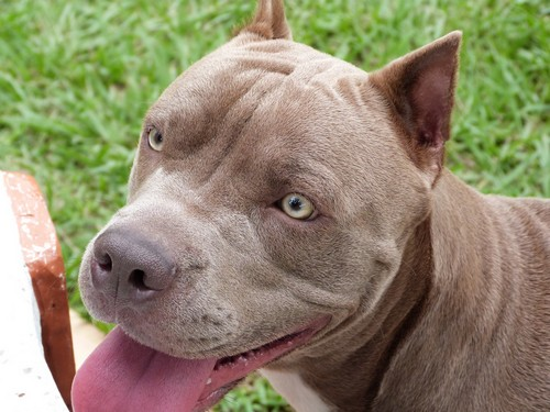 interesting_facts_about_pitbull7