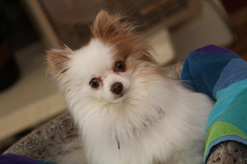interesting_facts_about_pomeranian_dogs4
