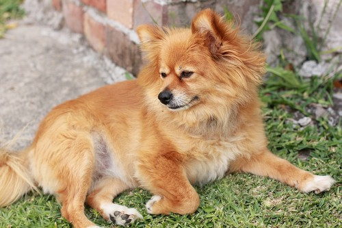 interesting_facts_about_pomeranian_dogs5