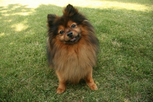 interesting_facts_about_pomeranian_dogs6