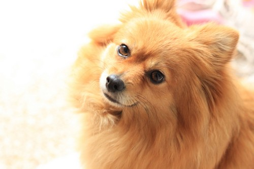 interesting_facts_about_pomeranian_dogs7