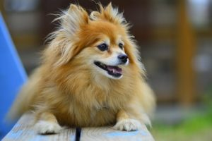 interesting_facts_about_pomeranian_dogs8
