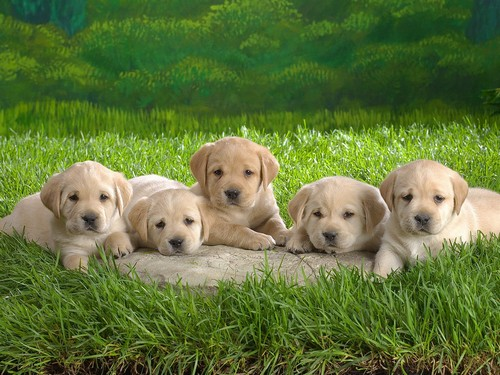 interesting_facts_about_puppies8-ap