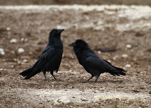 interesting_facts_about_ravens2