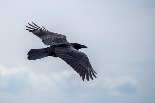 interesting_facts_about_ravens4