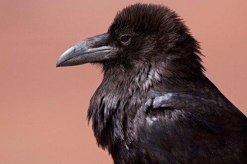 interesting_facts_about_ravens5