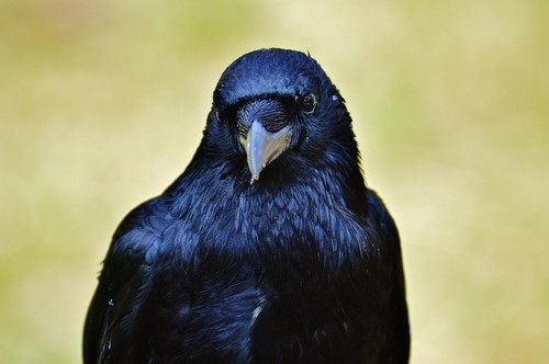 interesting_facts_about_ravens7