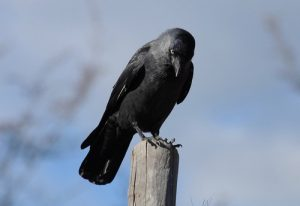 interesting_facts_about_ravens8