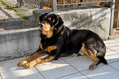 interesting_facts_about_rottweiler1