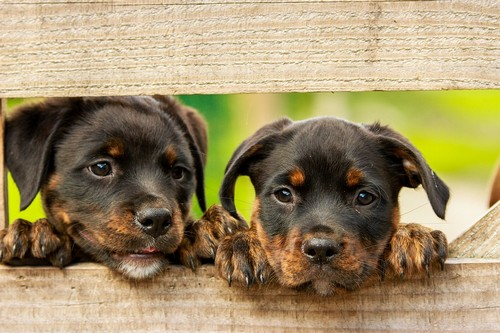 Rottweiler Diet Habitat Facts And Lifespan With Images Animalspal