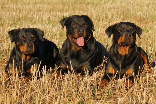 interesting_facts_about_rottweiler6