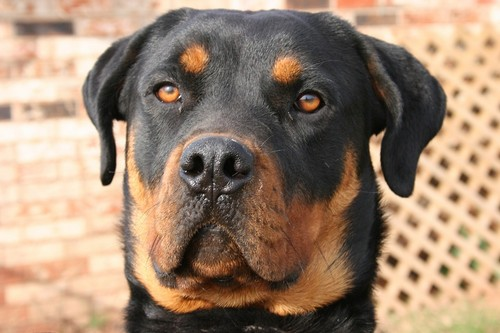 interesting_facts_about_rottweiler7