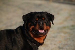 interesting_facts_about_rottweiler8