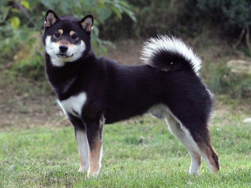 interesting_facts_about_shiba_inu3