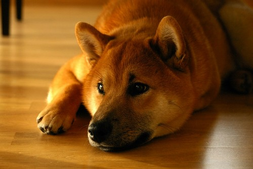 interesting_facts_about_shiba_inu5
