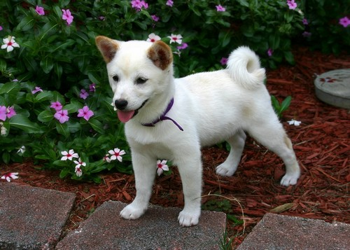 interesting_facts_about_shiba_inu6