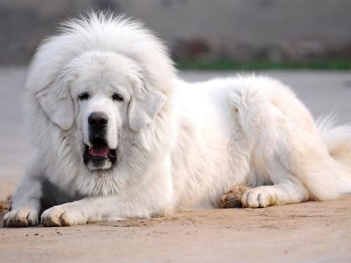 interesting_facts_about_tibetan_mastiff4