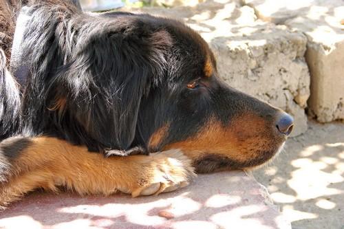 interesting_facts_about_tibetan_mastiff5