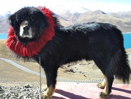 interesting_facts_about_tibetan_mastiff6