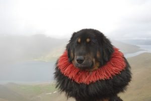 interesting_facts_about_tibetan_mastiff8