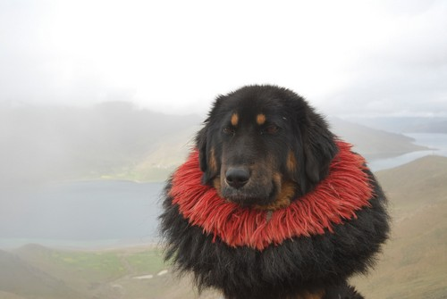 interesting_facts_about_tibetan_mastiff8-ap