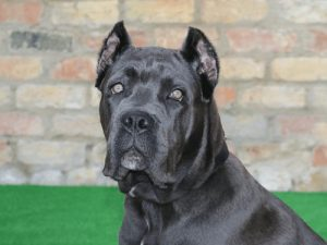 interesting_facts_about_cane_corso_dog1