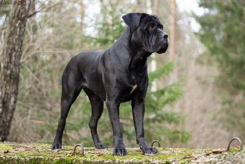 interesting_facts_about_cane_corso_dog3