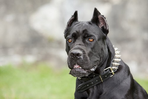interesting_facts_about_cane_corso_dog7