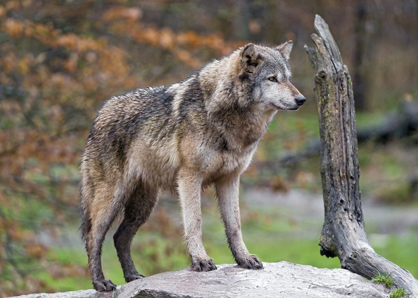 wolf-facts